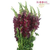 Snapdragon Burgundy