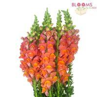 Snapdragon Orange