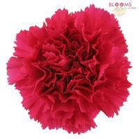 Carnations Hot Pink Fancy