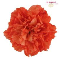Carnations Orange Fancy