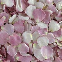 Our Lady Petals (30 Cups)