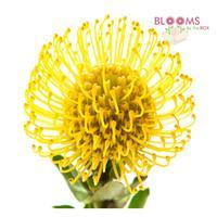Protea Pincushion Yellow