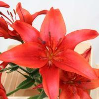 Lily Red 3-5 Blooms