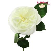 Garden Rose Alabaster White