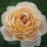 previous next - Cream Garden Rose