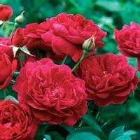 Garden Rose Darcy Red