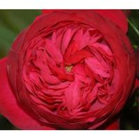 Garden Rose Piano Red