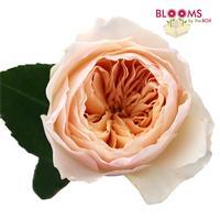 Peach Garden Rose juliet peach david austin garden roses - wholesale