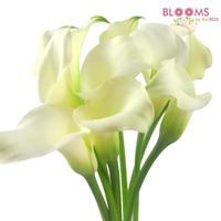 Calla Lily Mini White