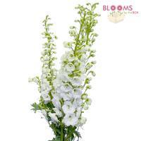 Wholesale white hybrid delphinium fresh cut flowers mightylinksfo