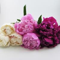 Peony SINGLE Color Pack (30 Stems)