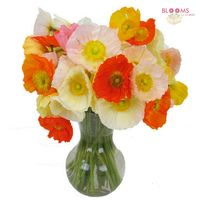 Poppy Assorted Colors (10 Bunches)