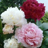 Peony ASSORTED Colors Pack (15 Stems)