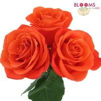 Rose Orange Crush 40cm