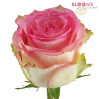 esperance rose pink and white roses wholesale