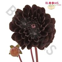 Dahlias 5 Bunch (50 Stems) - Chocolates