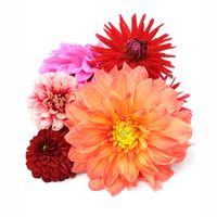 Dahlias 5 Bunch (50 Stems) - Yellows