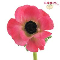 Anemone Pink (50 Stems)