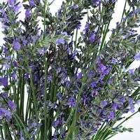 English Lavender (10 Bunches)