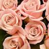 Sweetheart Roses Pink : Wholesale Flowers : Floral Supplies