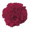 Carnations Burgundy Fancy : Wholesale Flowers : Floral Supplies