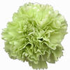 Carnations Green Fancy : Wholesale Flowers : Floral Supplies