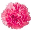 Carnations Hot Pink Fancy : Wholesale Flowers : Floral Supplies
