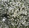 Gypsophila Overtime  : Wholesale Flowers : Floral Supplies