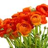 Ranunculus Orange : Wholesale Flowers : Floral Supplies