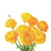 Ranunculus Yellow : Wholesale Flowers : Floral Supplies