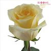 Rose Cream De Le Cream 40cm : Wholesale Flowers : Floral Supplies