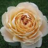 Garden Rose Cream  : Wholesale Flowers : Floral Supplies