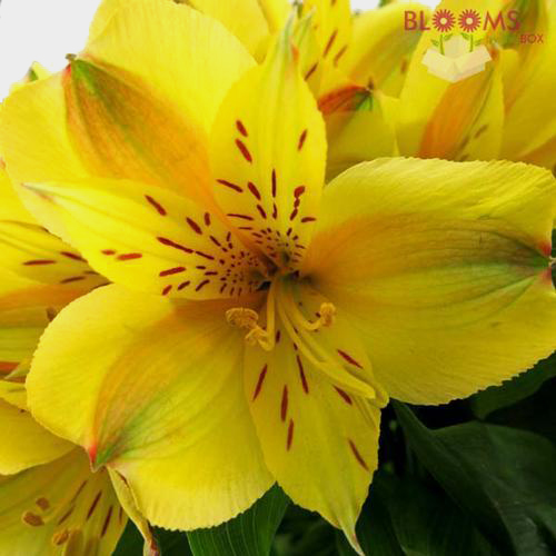 Yellow Alstroemeria Cut Flowers – Blooms by the Box