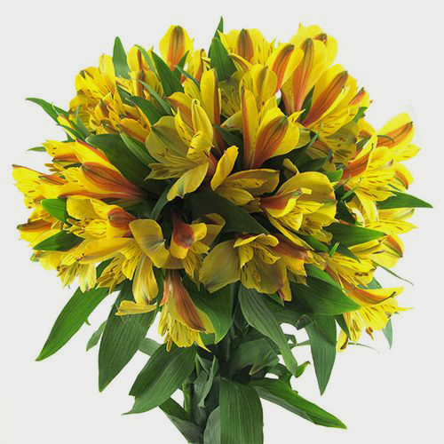 Alstroemeria Yellow