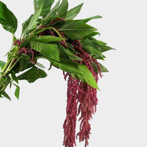 Red Hanging Amaranthus