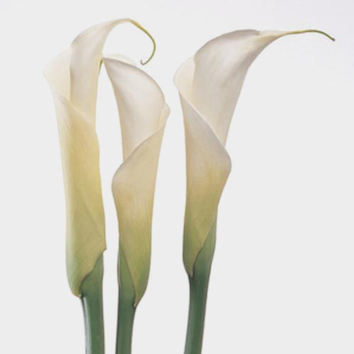 Wholesale calla lily close cut white blooms by the box undefined mightylinksfo