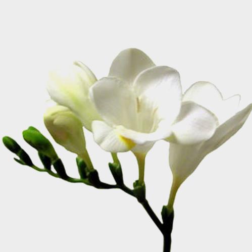 Wholesale freesia freesia flowers for diy weddings freesia white mightylinksfo