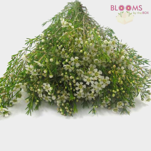 White wax flowers wholesale bloomsbythebox mightylinksfo Choice Image