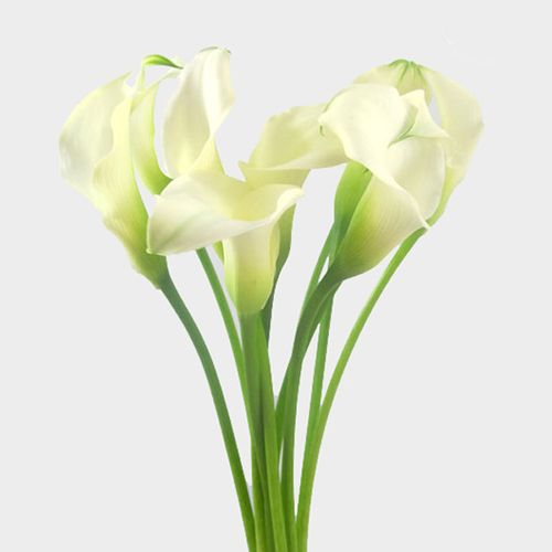 Calla Lily Mini White Flower Wholesale Blooms By The Box