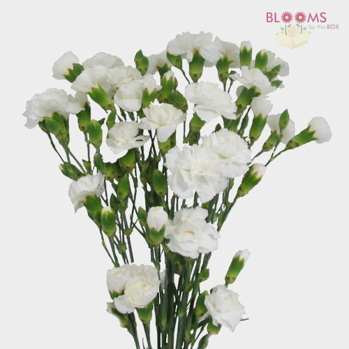 Mini carnations white wholesale blooms by the box undefined mightylinksfo