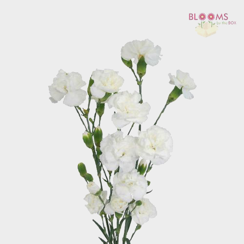 Mini carnations white wholesale blooms by the box pin it on pinterest mightylinksfo