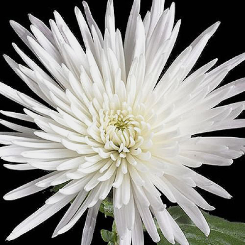 Wholesale spider anastasia white spider mum fuji mum blooms wholesale spider anastasia white spider mum fuji mum blooms by the box mightylinksfo