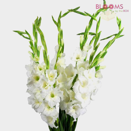 Gladiolus Fancy White