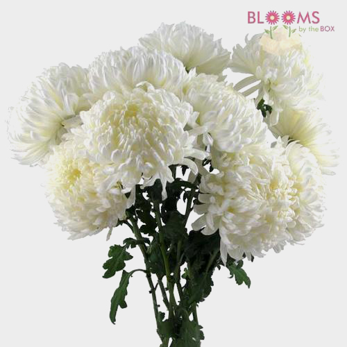 Wholesale football mum white blooms by the box