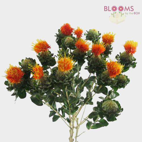 Safflower Orange