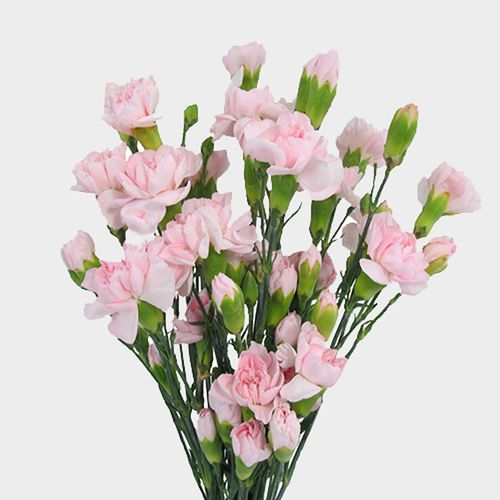 Mini Carnations Pink Flowers Wholesale Blooms By The Box