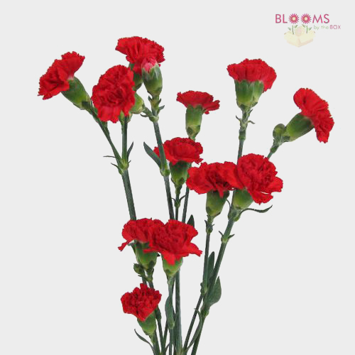 Red Mini Carnation Flowers Wholesale Blooms By The Box