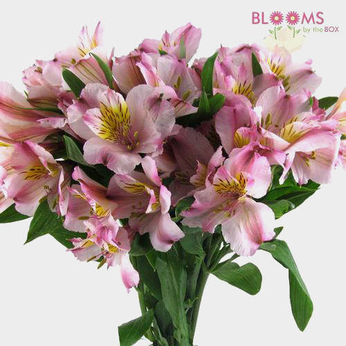 Wholesale blush flowers blooms by the box alstroemeria pink mightylinksfo