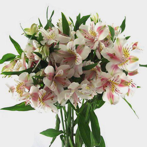 White alstroemeria fresh cut flowers mightylinksfo