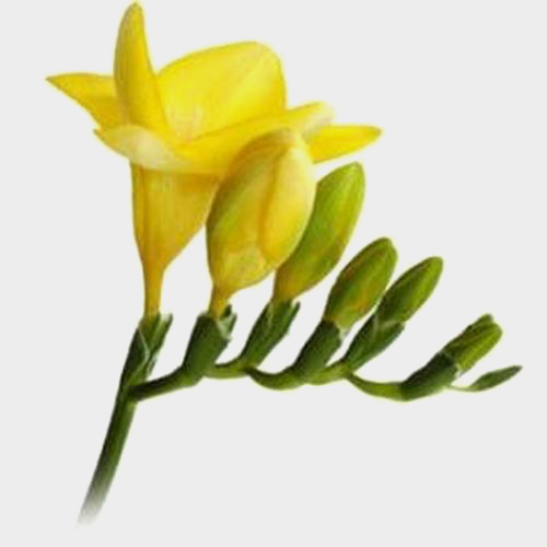 Freesia Yellow